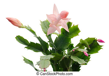 Christmas Cactus schlumbergera isolated on white background...