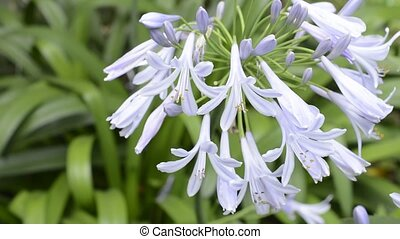 African lily flowers - Pale purple African lily flowers in...