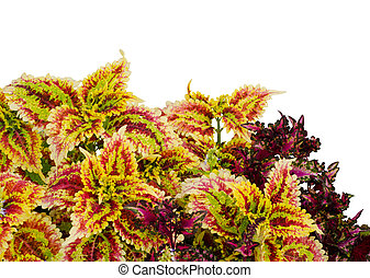 Coleus leaves isolated on white