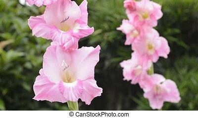 Pink gladiolus flowers - Bright pink gladiolus flowers in...