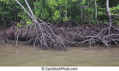 monkey climbs on the mangrove trees near the muddy river