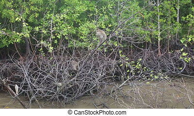 monkey grab food on the mangrove trees near the muddy river
