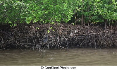 monkeys running roots of mangrove trees - monkeys running...