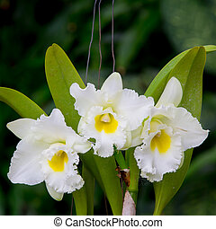 whie  orchid flower