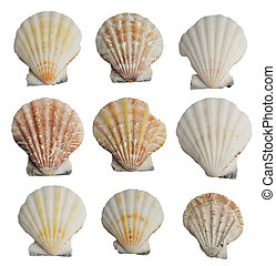 seashells set - Collection of seashells isolated on white...