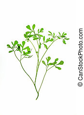 Rue (Ruta graveolens) - plant isolated in front of white...