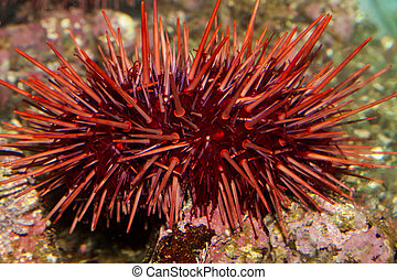 sea creature - Large red pointy sea urchin.