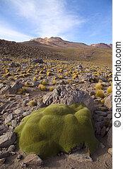 Stone like plant in the altiplano in north Chile, near the border with Bolivia, near San Pedro de Atacama