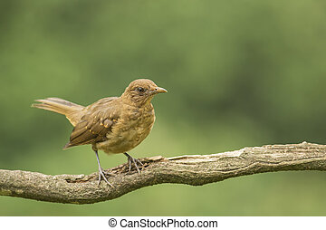 Clay-colored Thrush-Juvenile - The Clay-colored Thrush or...