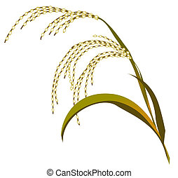 reed - The ripened ear of a reed on a white background