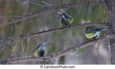 Tomtits feeding on the tree branch