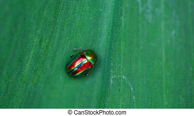 Chrysolina americana - Brilliant iridescent beetle on a leaf