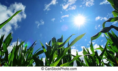 Green Corn Maize Plants in cultivated agricultural field...
