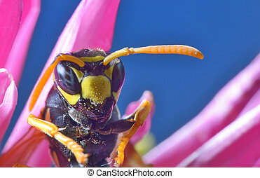 Yellow Jacket (Wasp) / Wasp is collecting pollen and nectar...
