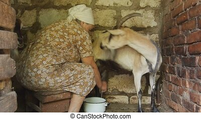 Peasant woman milking a goat - Woman milking a goat Very old...