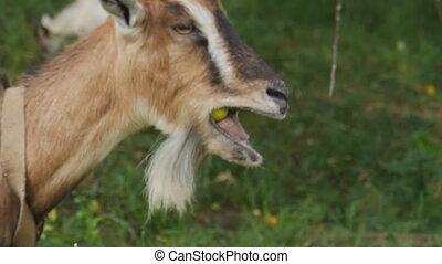 Goat on pasture eating apples close up
