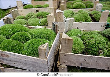 buxus in crate