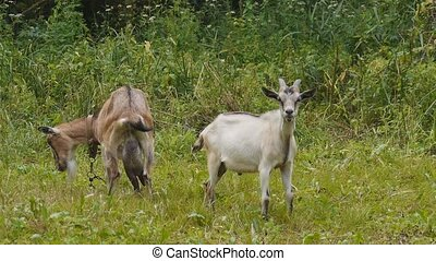 goats grazing on the lawn - goat on a leash in the meadow to...