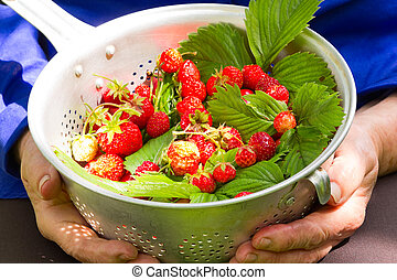 Fresh picked strawberry - Senior hands holding a dish with...