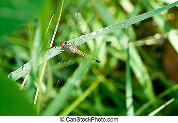 Dragonfly on a background of green grass.the dragonfly is...