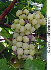 ramo, putrefacción, uvas, infección