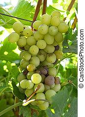 infección, putrefacción, uvas, ramo