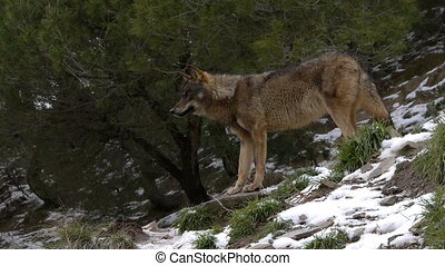 Iberian wolf in the forest among the trees and snow on the...