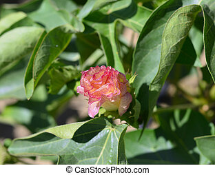 Cotton plant. - Cotton plant with green leaves and flowers...