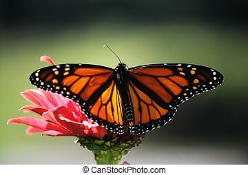 Monarch Butterfly on Pink Flower - ~monarch on pink zinnia~