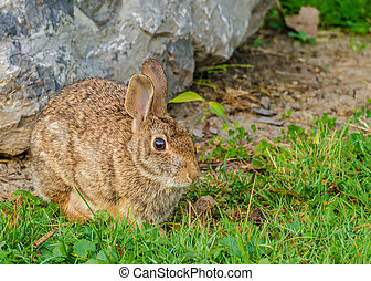 Cottontail Rabbit - A Cottontail Rabbit sitting beside a...