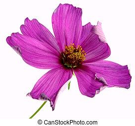 cosmea - a single pink cosmea to white reason