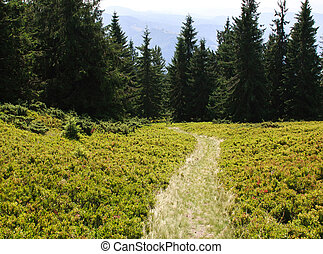 Green trail in the spruce forest