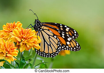 Monarch butterfly (Danaus plexippus) during autumn migration...