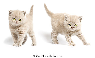 Two kittens with yellow eyes on white background