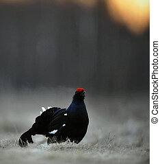 Lekking Black Grouse ( Lyrurus tetrix). Early morning....