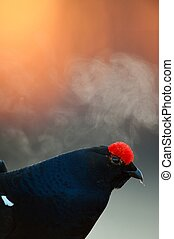 Lekking Black Grouse Lyrurus tetrix Early morning Sunrise...