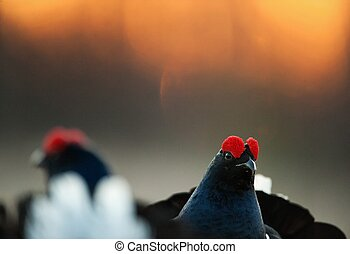 Lekking Black Grouse ( Lyrurus tetrix). - Lekking Black...