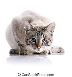Striped blue-eyed cat - Portrait of a striped blue-eyed cat....