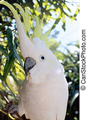 Sulphur-Crested Cockatoo - Close up of a Sulphur-Crested...