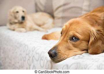 Two dog lying on the bed - View of two dogs lying - Golden...