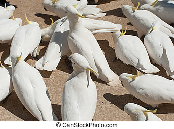 Cockatoos - Many wild cockatoos are being fed by tourists....