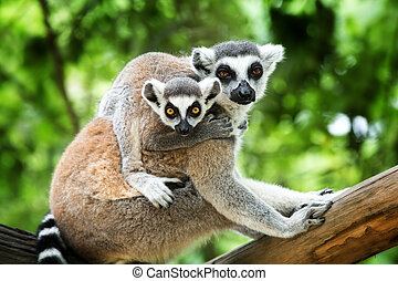 ring-tailed lemur - close-up of a ring-tailed lemur with her...