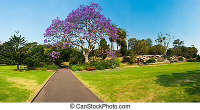 Jacaranda Tree - Blooming jacaranda tree in the park,...