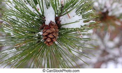 Beautiful pine branch with snow
