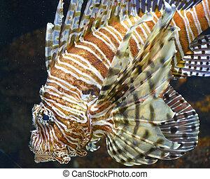 Lion Fish - Lion fish