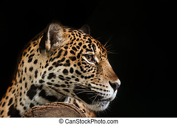 Jaguar portrait in the night time