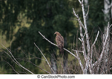 Honey buzzard, Pernis apivorus - Juvenile