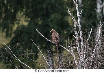 Honey buzzard, Pernis apivorus - Juvenile