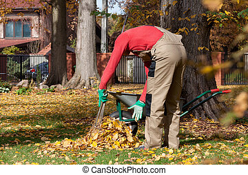 Man collecting leaves - A man collecting autumn leaves using...