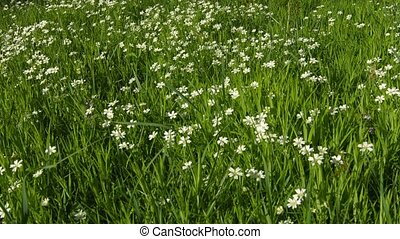 Cerastium flowers (mouse-ear chickweed) on meadow